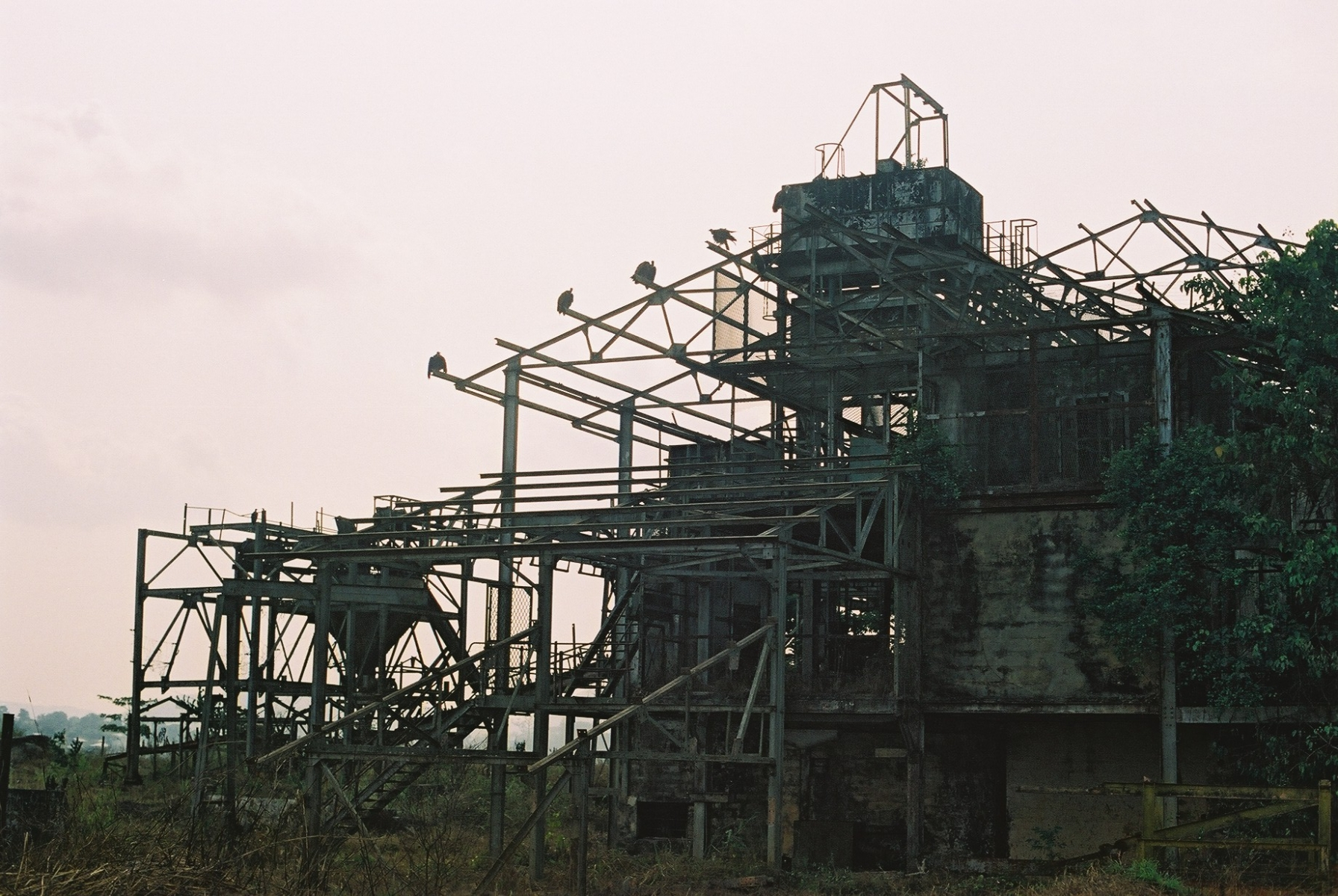 Old Diamond Plant